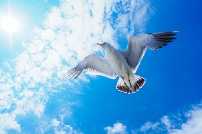ウイングスパン ヘッダ画像 ウミネコの飛翔